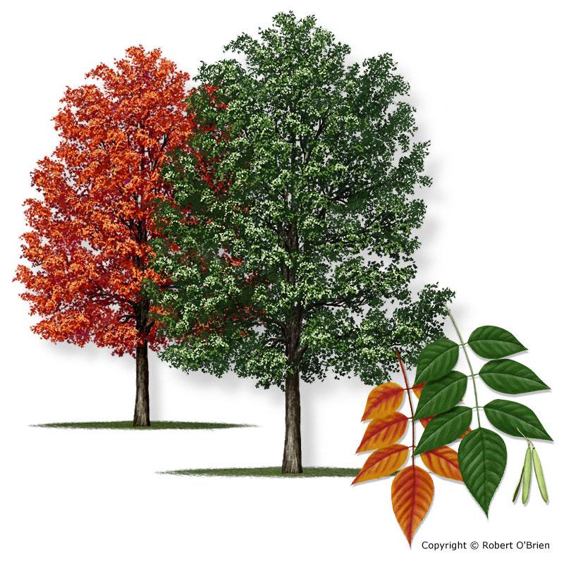 Texas am forest service trees of texas list of trees ashwhite150g tree description mightylinksfo