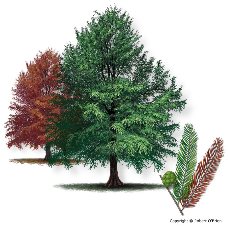 Texas am forest service trees of texas list of trees baldcypress150g tree description sciox Choice Image