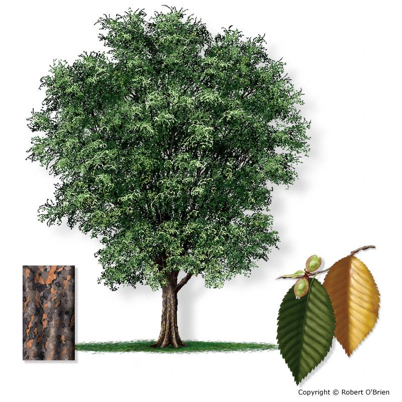 lacebark elm tree pictures. lacebark elm. Ulmus parvifolia
