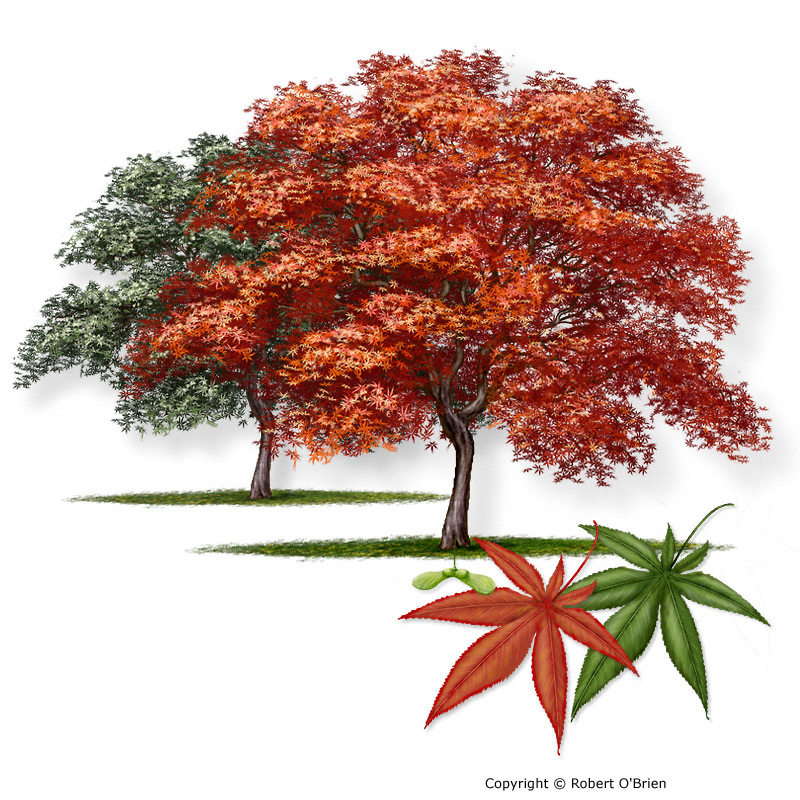 japanese maple leaf tree. Japanese maple. Acer palmatum