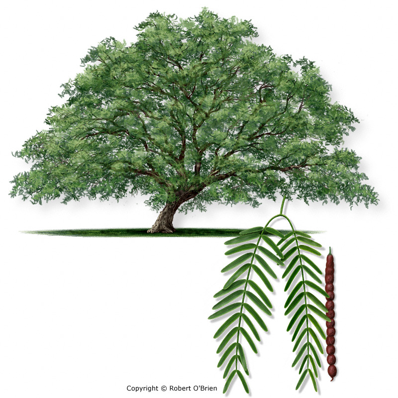 texas a&m tree guide