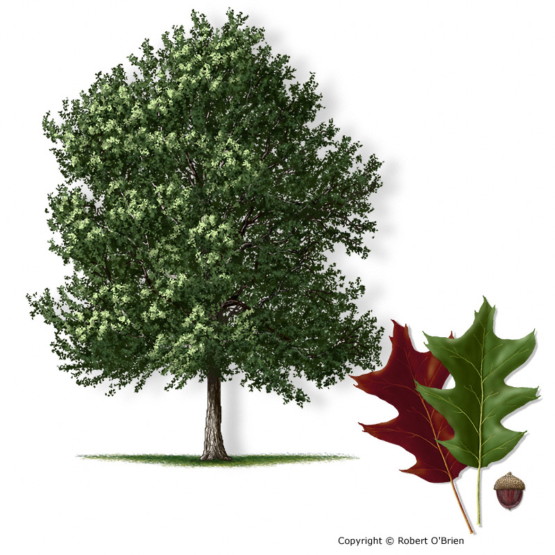 Texas a m forest service trees of list