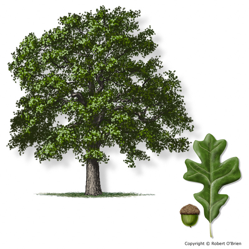 Texas am forest service trees of texas list of trees tree description sciox Choice Image