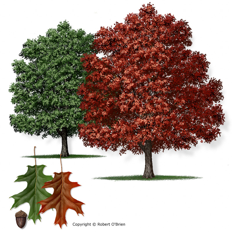 Texas A&M Forest Service - Trees of Texas - List of Trees