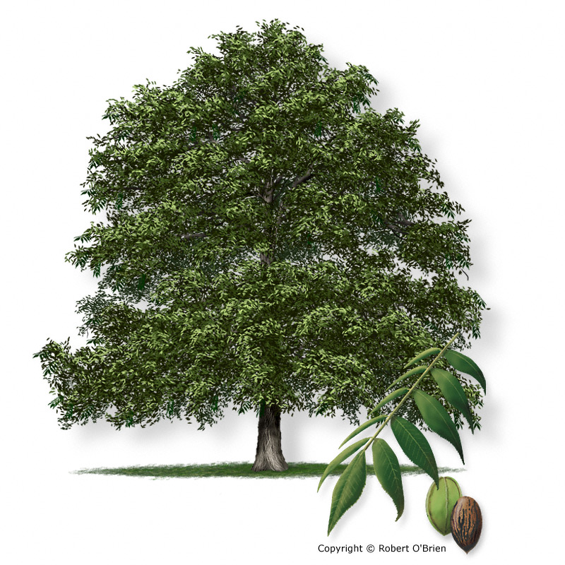 Tree description a large tree to 120 feet tall and