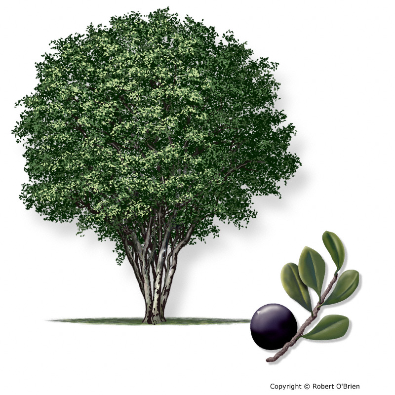 Texas am forest service trees of texas list of trees persimmontexas150g tree description sciox Choice Image