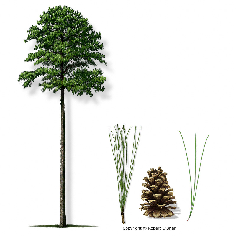 pine_loblolly150.jpg