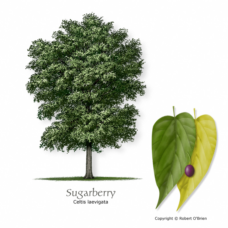 sugarberry-hackberry150.jpg