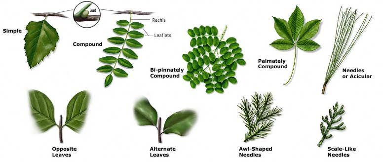 leaf  identifier