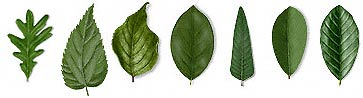 Leaf Shape Samples