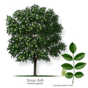 Texas am forest service trees of texas list of trees ash mountain also known as ash texas fraxinus texensis more about this tree sciox Choice Image